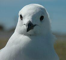 Seagull, NZ by Rudolf