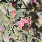 Butterflies on Globemallow Flowers by Ingasi