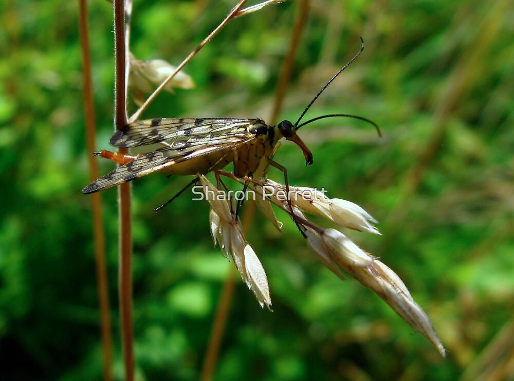 Scorpion Fly by Sharon Perrett