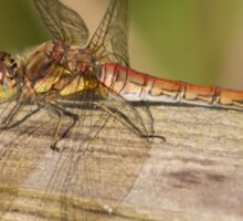 Common Darter Dragonfly Sticker
