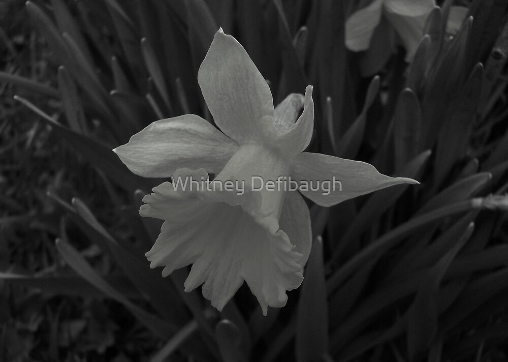 Daffodil by Whitney Defibaugh