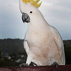 Cockatoo Displaying Its Crest by whoalse