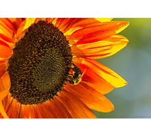 Sunflower 3 Photographic Print