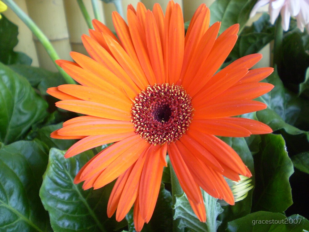 Orange Daisy by gracestout2007