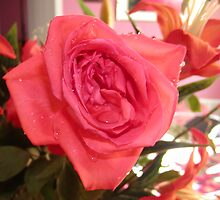 Pink Rose by Macar
