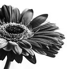 Gerbera Daisy Black and white  by IamPhoto