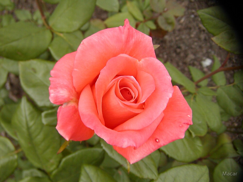 Rose by Macar