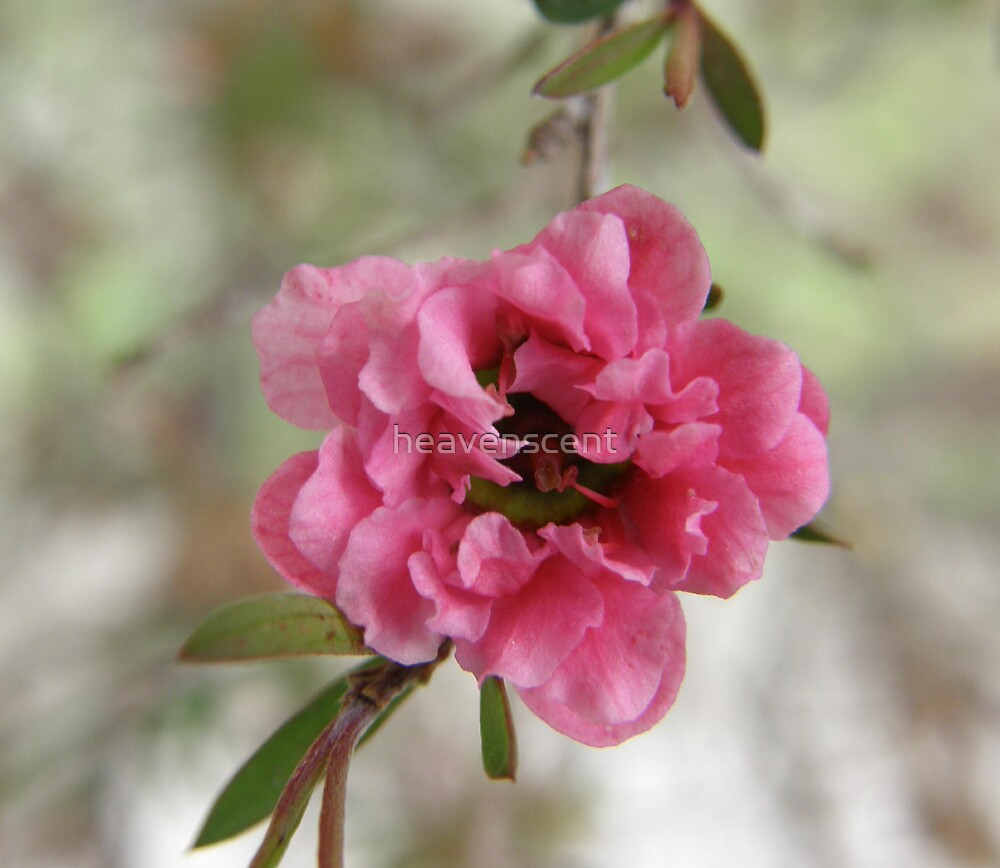 Pink Manuka by heavenscent