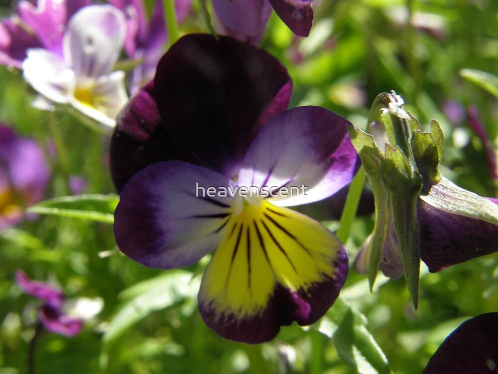 purple pansy by heavenscent