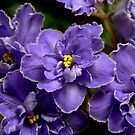 African Violets by margotk