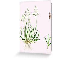Annual Meadow Grass - Poa annua Greeting Card
