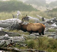 Elk in the Fog by Derek McMaster