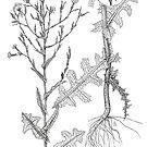 Prickly Lettuce - Lactuca serriola b/w by Sue Abonyi