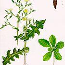 Prickly Lettuce - Lactuca serriola by Sue Abonyi