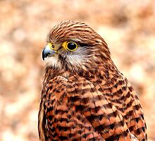 Falcon by kitlew
