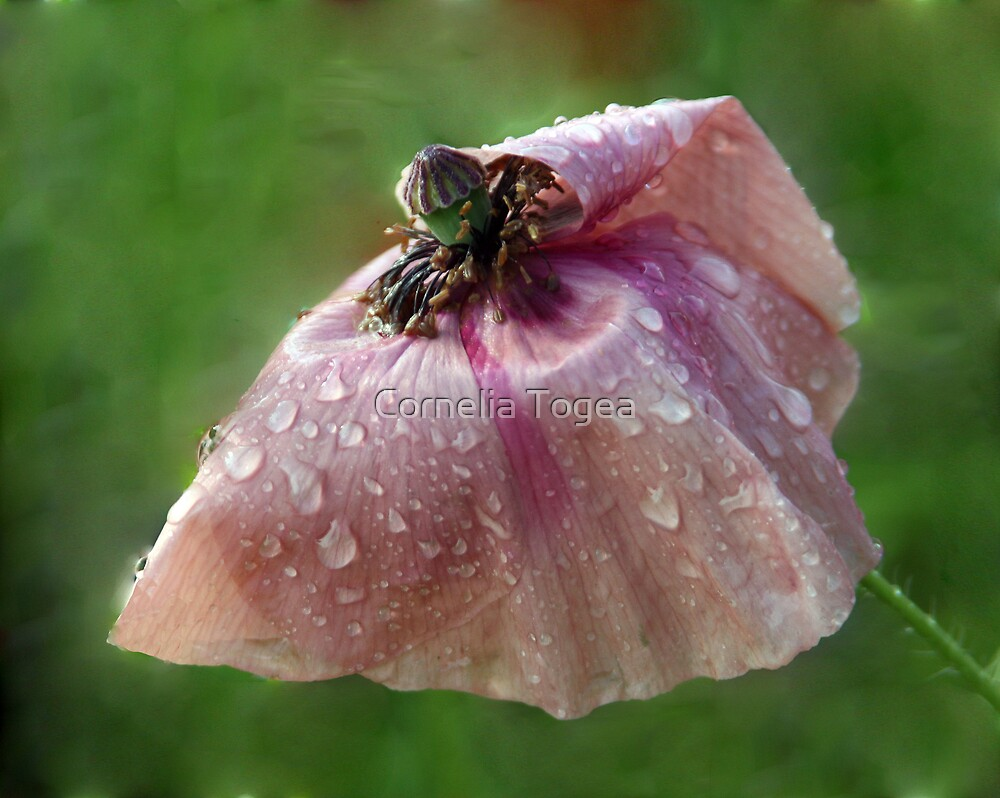 pink poppy after the rain by Cornelia Togea