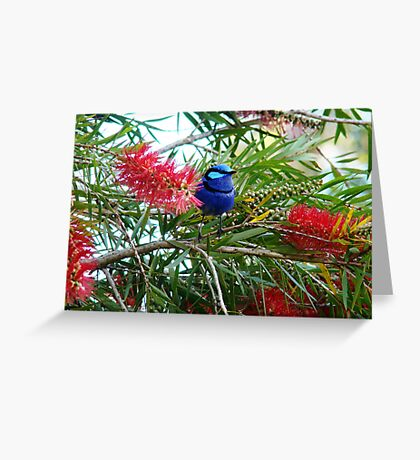 Bottle brush Blue Wren Greeting Card