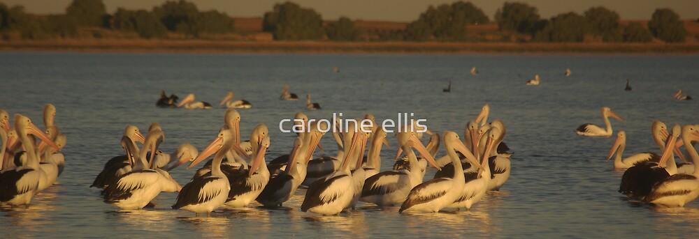 pelicans preening by caroline ellis