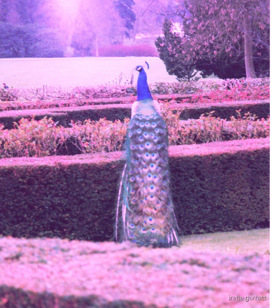 Peacock in Bradgate Park by irene garratt