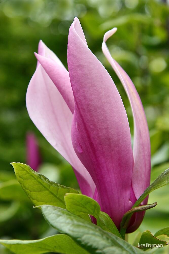 Magnolia by kraftyman