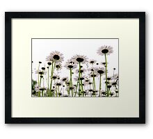 Daisies on white Framed Print