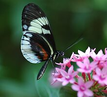 Piano Key Butterfly and Pink Penta by Peter  Leahy