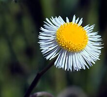 Everglades Daisy by Peter  Leahy