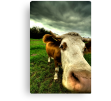 Lens cleaning - cow style Canvas Print