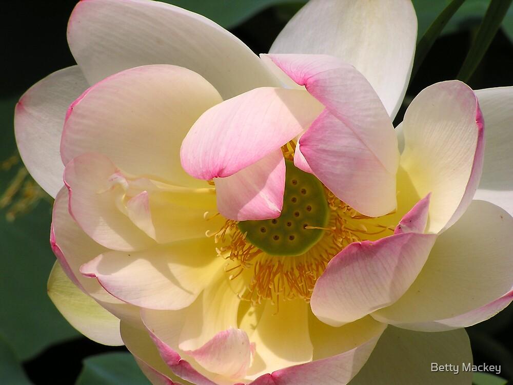 Serene White Lotus Blossom by Betty Mackey
