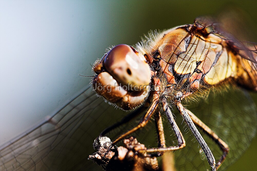 Sympetrum striolatum by Jörg Holtermann