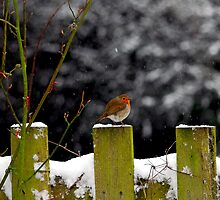 Winter Robin by Matt Sillence