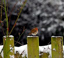Winter Robin by Matt Sillence