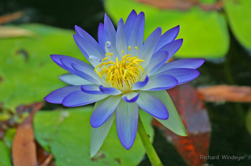 Purple Waterlily by Richard  Windeyer