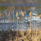 cat tails by Brad