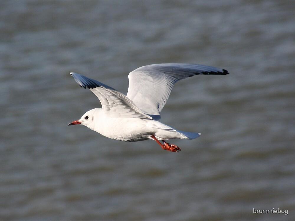 Gull in flight by brummieboy