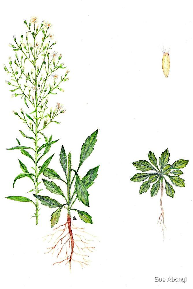Erigeron canadensis by Sue Abonyi