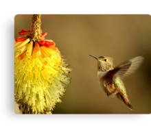 Flight of the Hummer Canvas Print