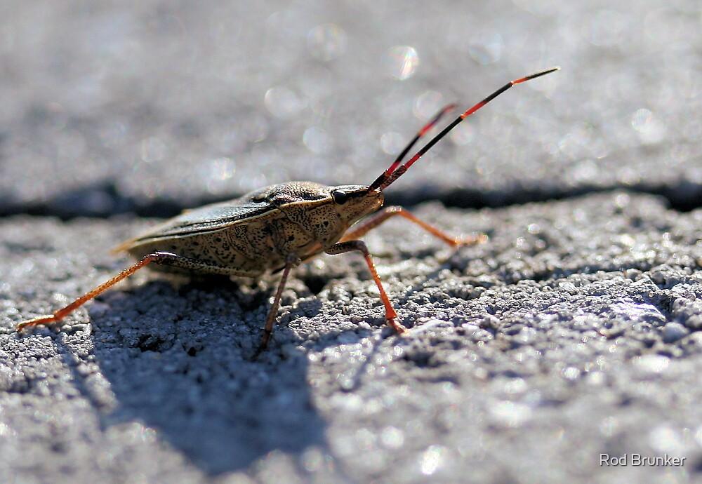 Stink Bug (Family Pentatomidae) by Rod Brunker
