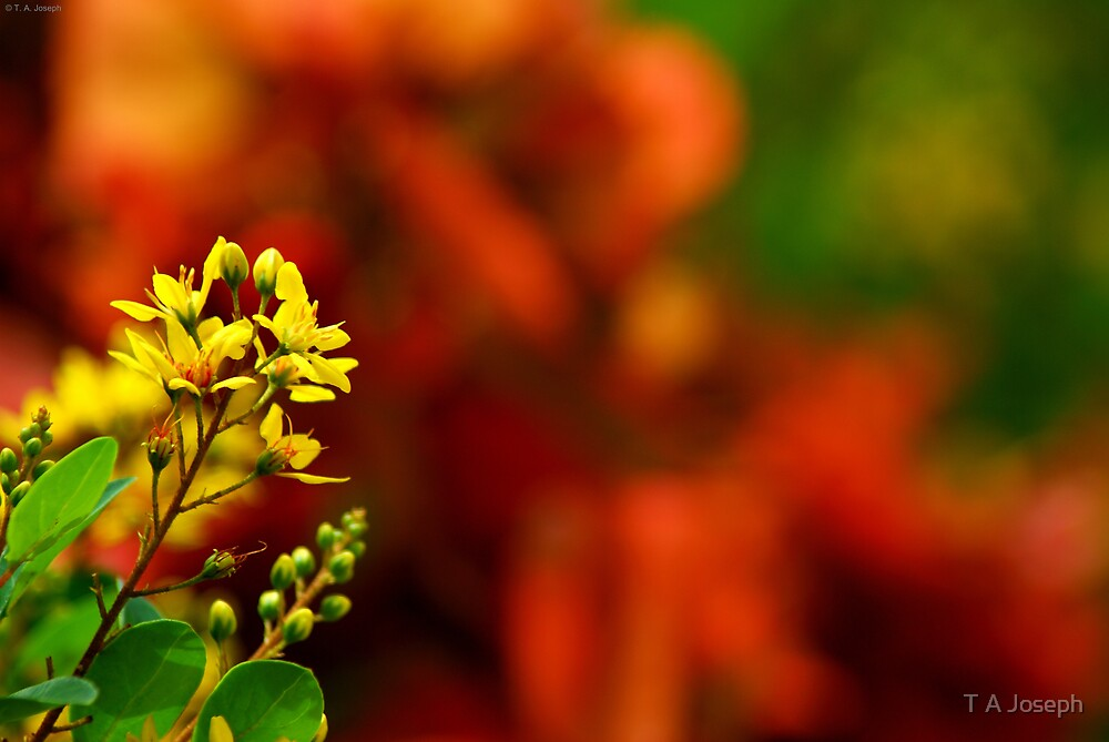 The Lone Yellow among the Reds by T A Joseph