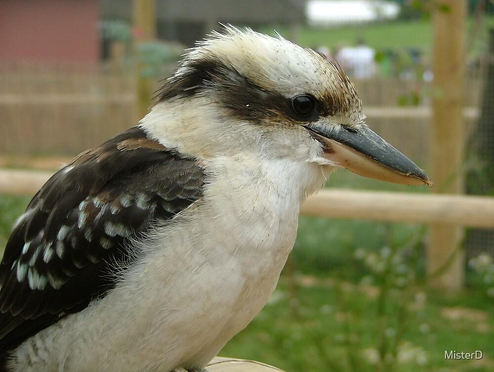 Kookaburra by MisterD