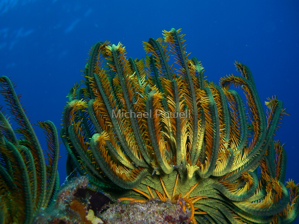 Feather Star by Michael Powell