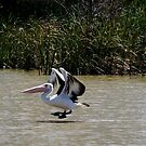 PELICAN.IMGP3821 by Murray Wills