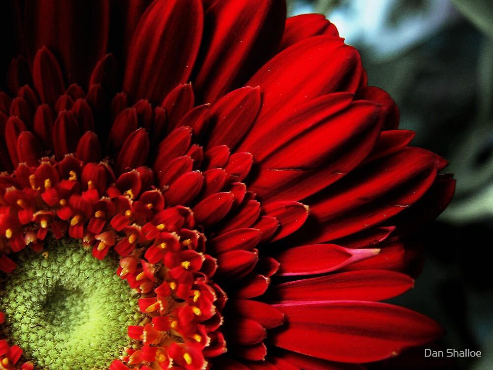 red gerbera by Dan Shalloe