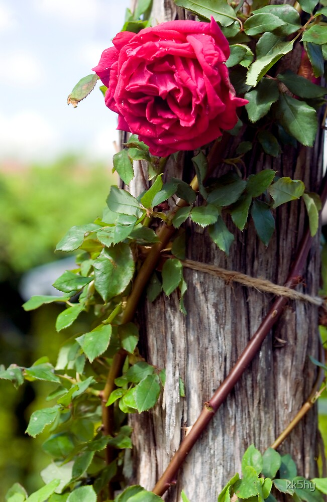 Rose on stump by kk5hy