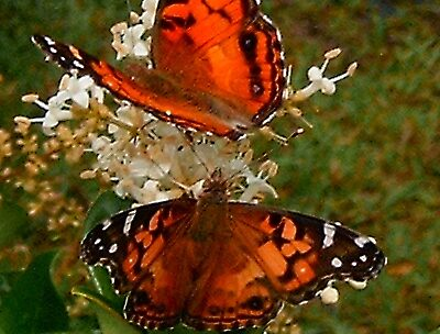 Butterflys in  Love by artwoman3571
