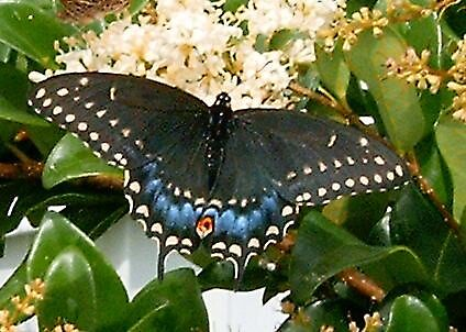 Black Swallowtail by artwoman3571
