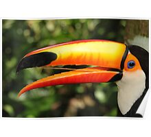 Portrait of a Toco Toucan at Iguassu, Brazil  Poster