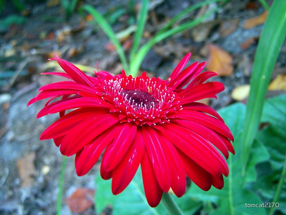 gebrera daisy by tomcat2170