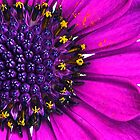 Pink Daisy by Robyn Carter