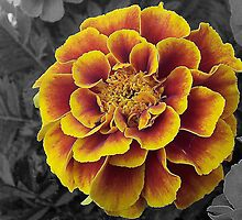 Lone Marigold by Michelle Hitt